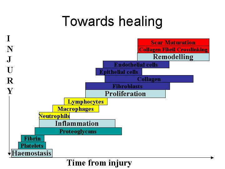 Normal Stages of Wound Healing http://www.worldwidewounds.com/2002 ...
