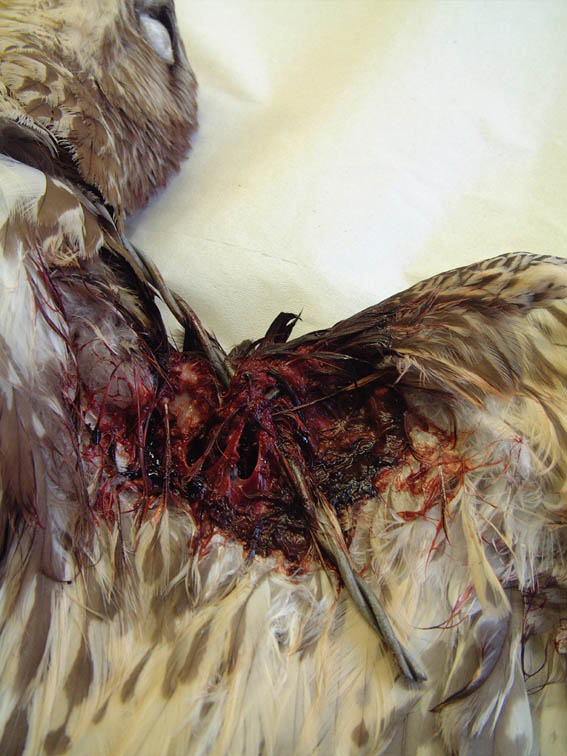 Wound assessment in the avian wildlife casualty