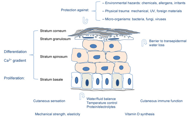 The Pathophysiology Of Vulnerable Skin
